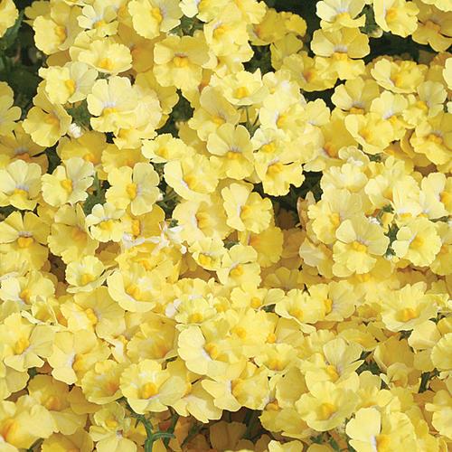 Sunsatia® Lemon - Nemesia hybrid