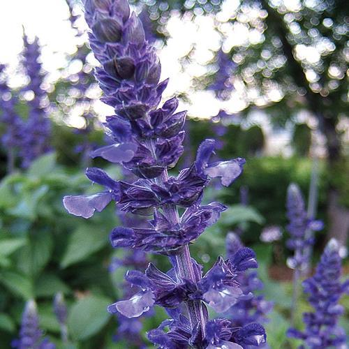 Mystic Spires Blue - Salvia longispicata x farinacea