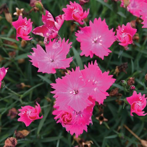 Witch Doctor™ - Garden Pink - Dianthus hybrid