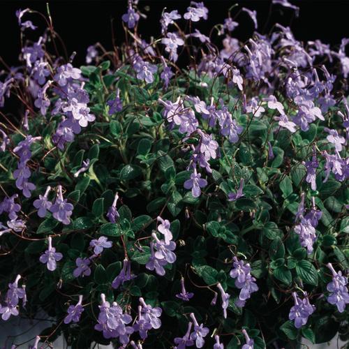 Concord Blue - Streptocarpella - Streptocarpus saxorum