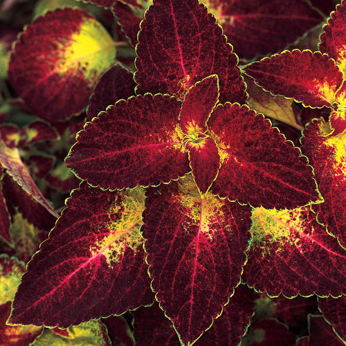 ColorBlaze® Dipt in Wine - Coleus - Solenostemon scutellarioides