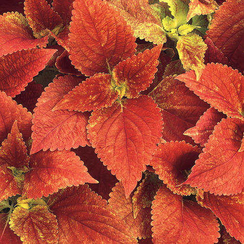 Texas Parking Lot - Coleus - Solenostemon scutellarioides