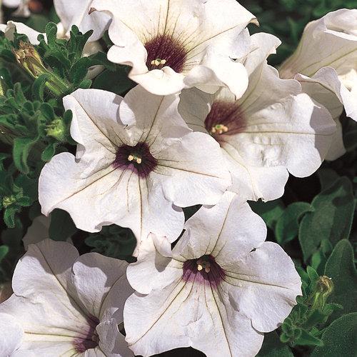 Surfinia® White - Petunia hybrid