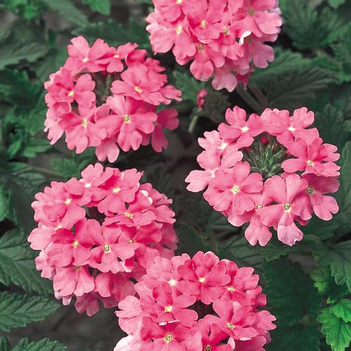 Temari bright pink verbena hybrid proven winners temari bright pink verbena hybrid mightylinksfo