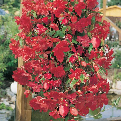 Illumination® Rose - Tuberous Begonia - Begonia x tuberhybrida