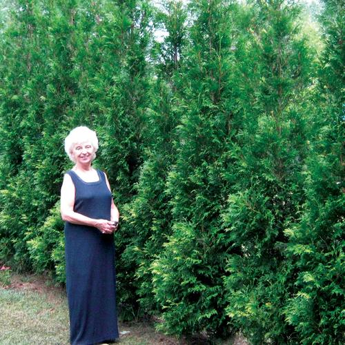American Pillar - Arborvitae - Thuja occidentalis