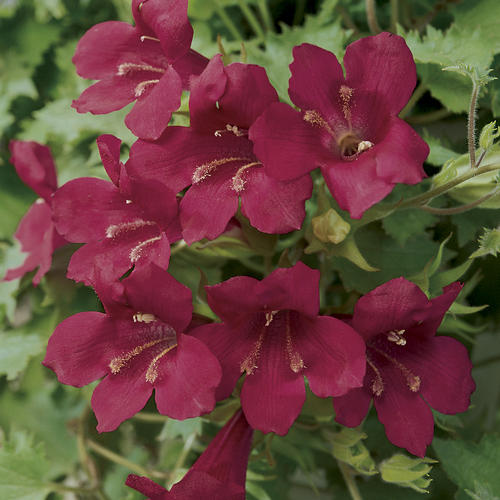 Lofos® Wine Red - Lophospermum hybrid