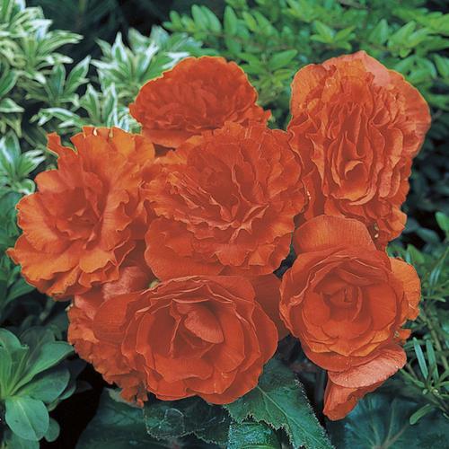 Nonstop® Orange - Tuberous Begonia - Begonia x tuberhybrida