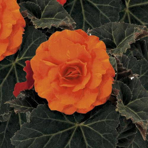 Nonstop® Mocca Deep Orange - Tuberous Begonia - Begonia x tuberhybrida