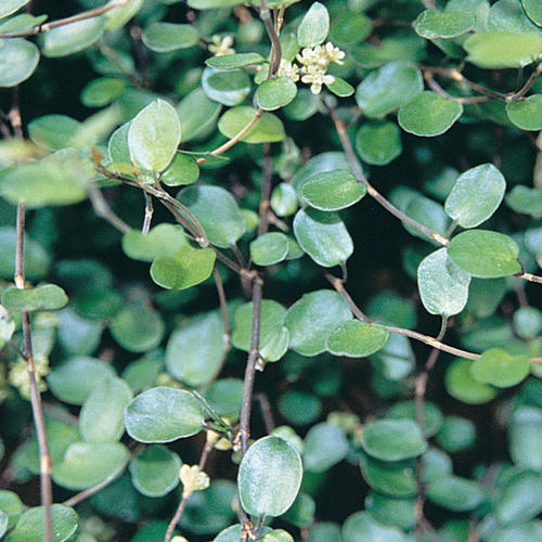 Big Leaf - Creeping Wire Vine - Muehlenbeckia axillaris