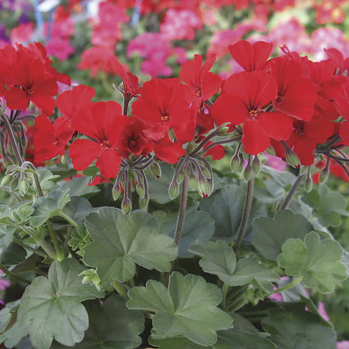 Caliente® Fire - Geranium - Pelargonium