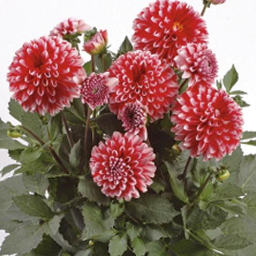 Dalina® Grande Tampico - Dahlia hybrid