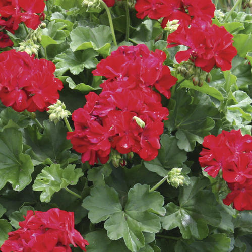 Calliope® Dark Red - Geranium - Pelargonium