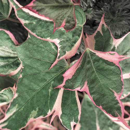 Tricolor - Sweet Potato Vine - Ipomoea batatas