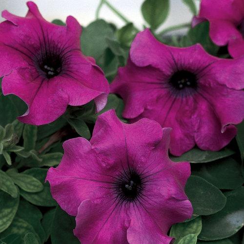 Surfinia giant purple petunia hybrid proven winners for Petunia surfinia
