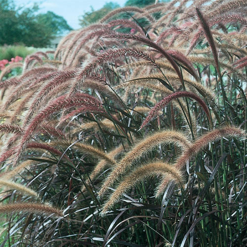 Graceful Grasses Purple Fountain Grass Pennisetum Setaceum