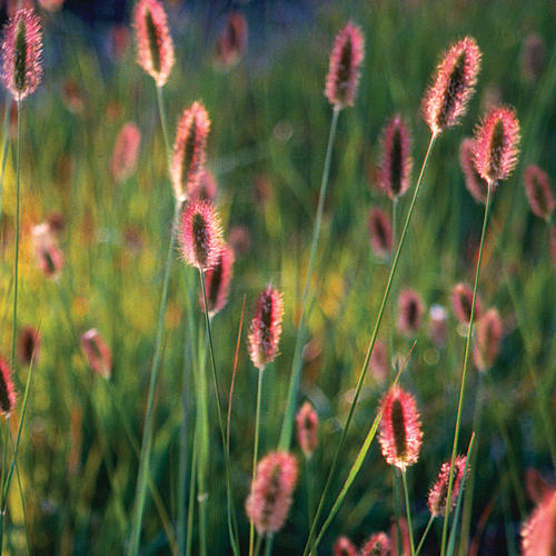 Red Bunny Tails - Fountain Grass - Pennisetum messiacum