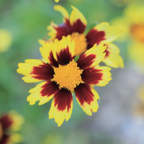 Big Bang™ Cosmic Eye - Tickseed - Coreopsis hybrid