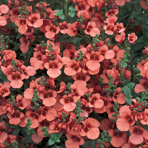 Flying Colors® Coral - Twinspur - Diascia hybrid