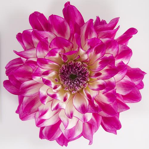 Dalina® Grande Bonita - Dahlia hybrid