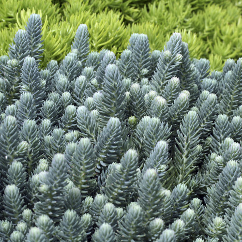 Blue Cushion - Stonecrop - Sedum reflexum