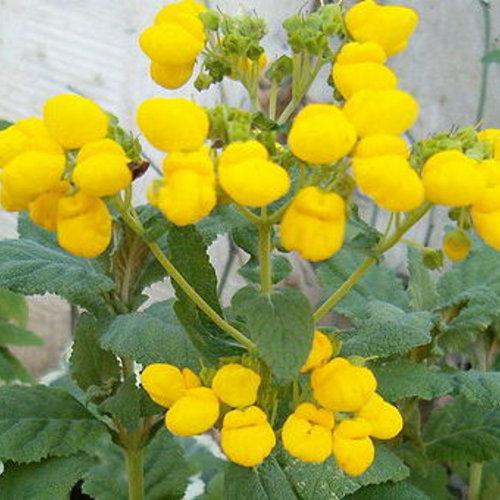 Golden Yellow - Lady's Purse - Calceolaria hybrid