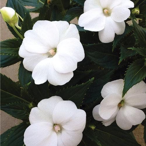 SunPatiens® Compact White - Impatiens x hybrida