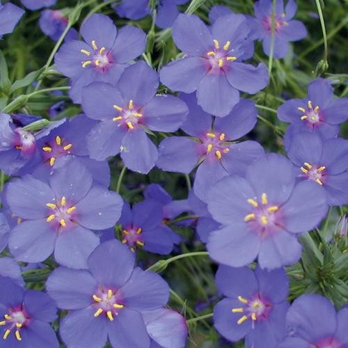 'Wildcat Blue' - Anagallis hybrid