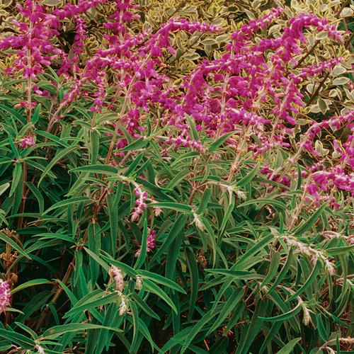 'Santa Barbara' - Mexican Bush Sage - Salvia leucantha