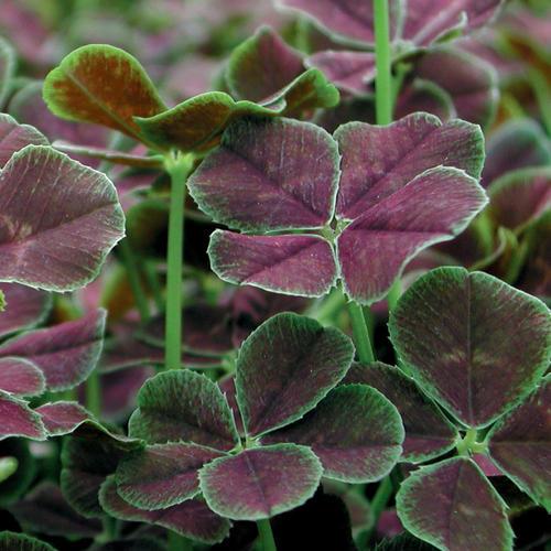 dark dancer� white clover trifolium repens