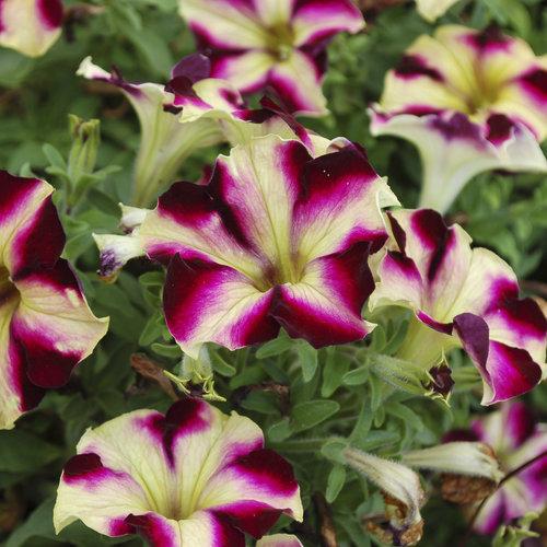 Crazytunia Pulse - Petunia hybrid