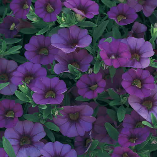 Superbells® Trailing Blue - Calibrachoa hybrid