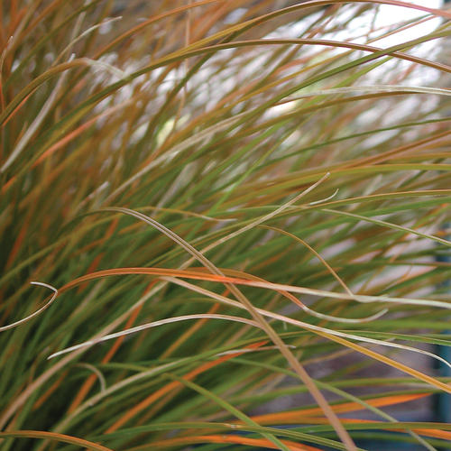 Orange Sedge - Carex testacea