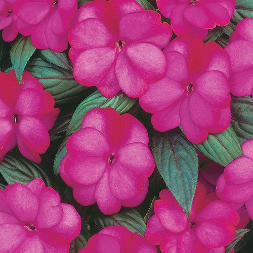Infinity® Blushing Lilac - New Guinea Impatiens - Impatiens hawkeri