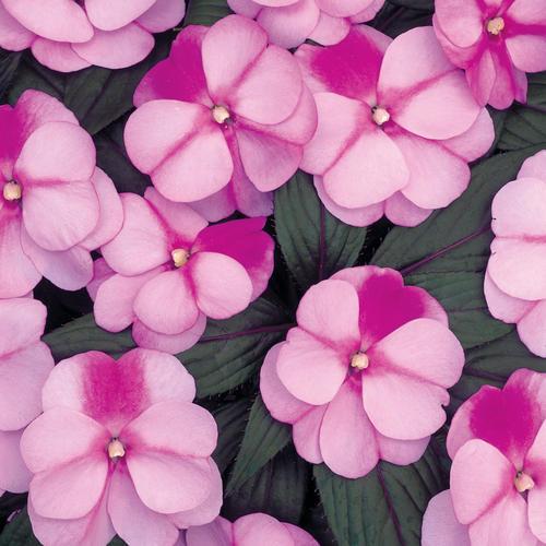 Infinity® Pink Frost - New Guinea Impatiens - Impatiens hawkeri