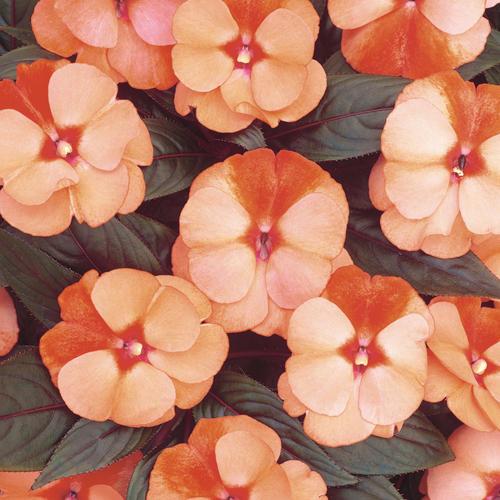 Infinity® Orange Frost - New Guinea Impatiens - Impatiens hawkeri