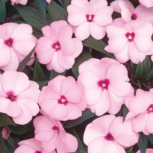 Infinity pink new guinea impatiens impatiens hawkeri for New guinea impatiens