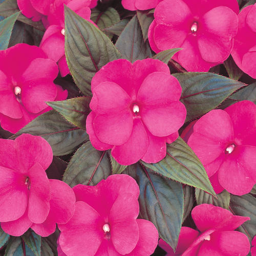 Infinity dark pink new guinea impatiens impatiens for New guinea impatiens
