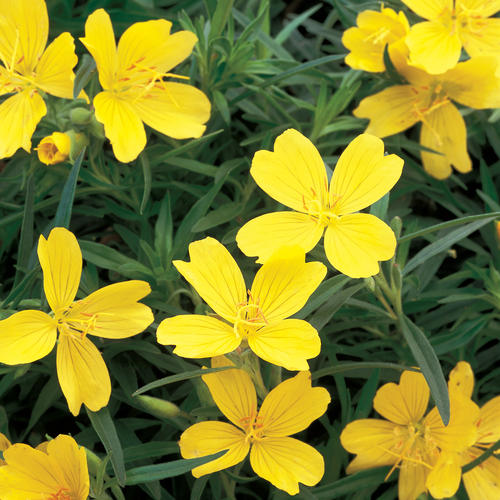 Lemon drop primrose oenothera species proven winners your browser does not support the audio player mightylinksfo