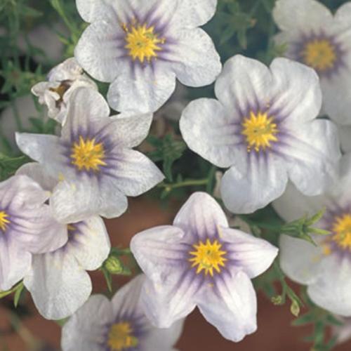 Blue Eyes - Cupflower - Nierembergia