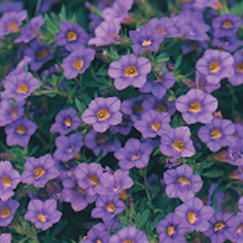 million bells trailing blue calibrachoa hybrid proven winners. Black Bedroom Furniture Sets. Home Design Ideas