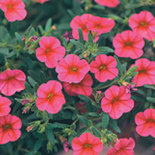 million bells trailing pink calibrachoa hybrid proven winners. Black Bedroom Furniture Sets. Home Design Ideas