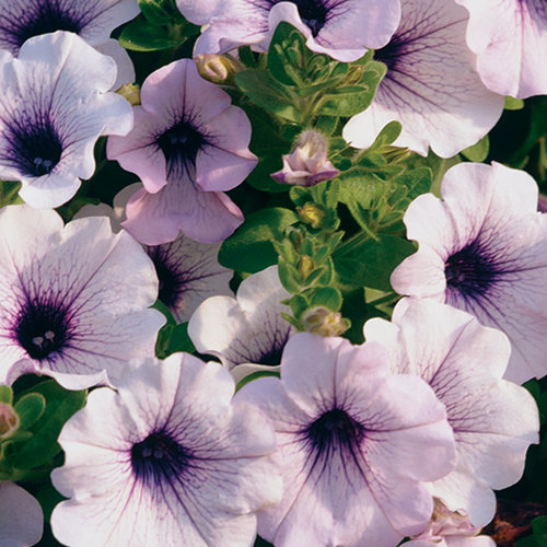 Supertunia® Trailing Blue Veined - Petunia hybrid