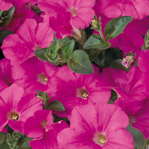 Supertunia® Mini Bright Pink - Petunia hybrid