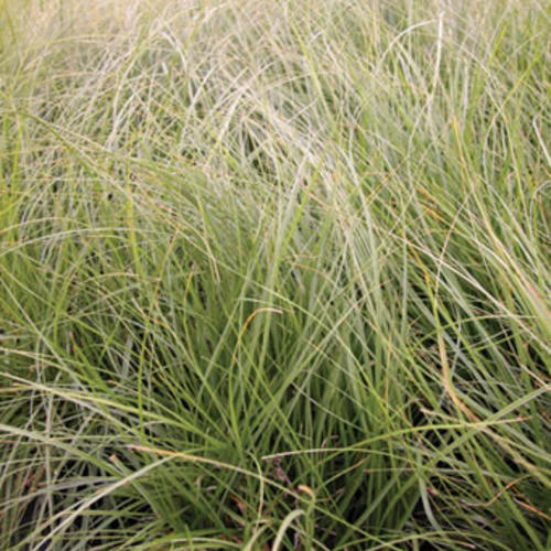California Meadow Sedge - Carex pansa