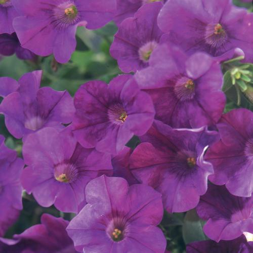 Surfinia® Amethyst - Petunia hybrid