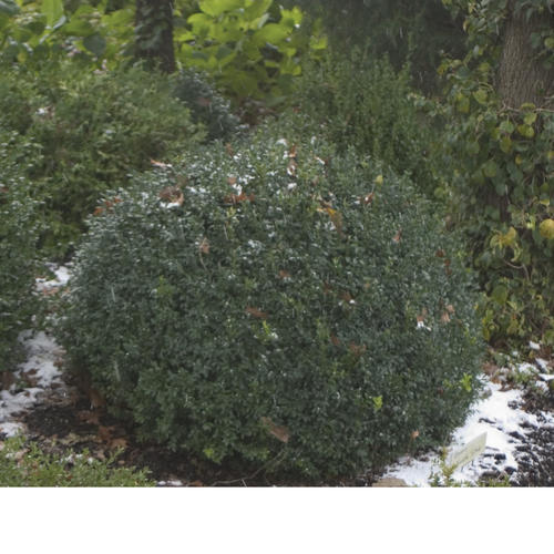 North Star® - Boxwood - Buxus sempervirens