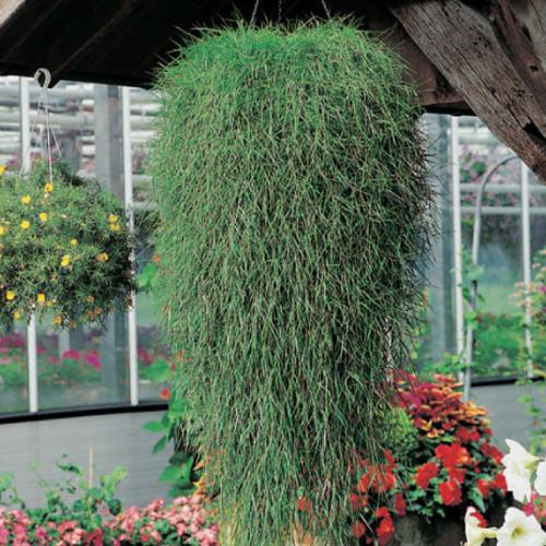 Green Twist - Trailing Bamboo - Agrostis stolonifera