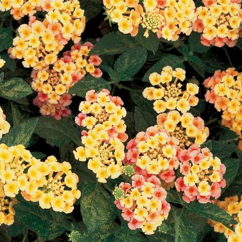Luscious® 'Tropical Fruit' - Lantana camara