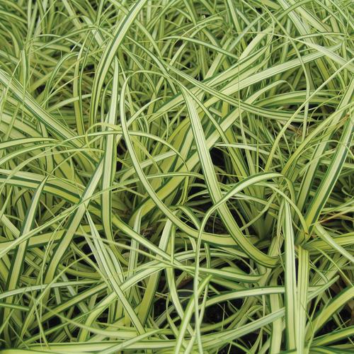 Ice Dance - Sedge - Carex morrowii